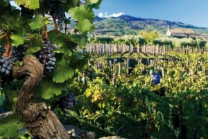 vineyard with Mt. Etna in the background. Buches of Nerello Mascalese grapes